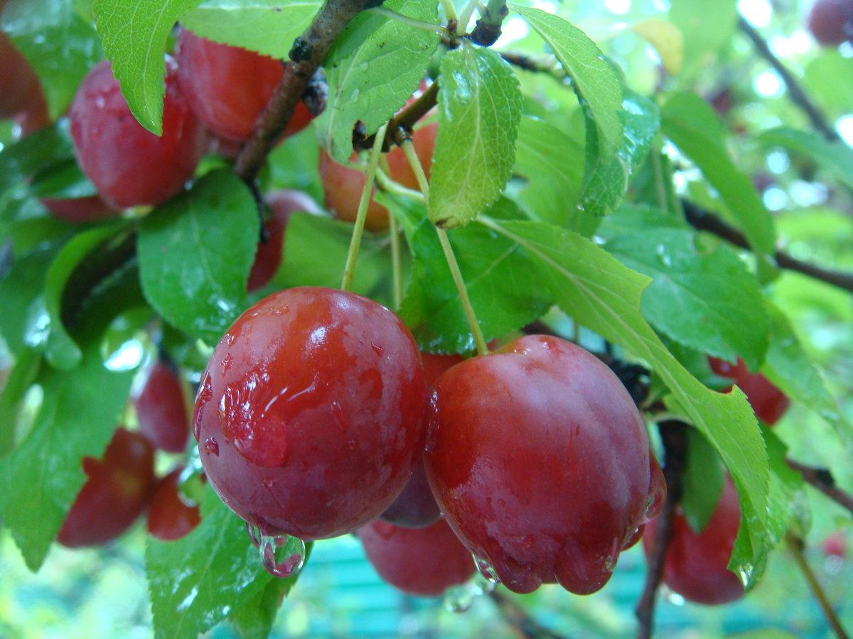 получения картинки ягод на юге набухают окружающие