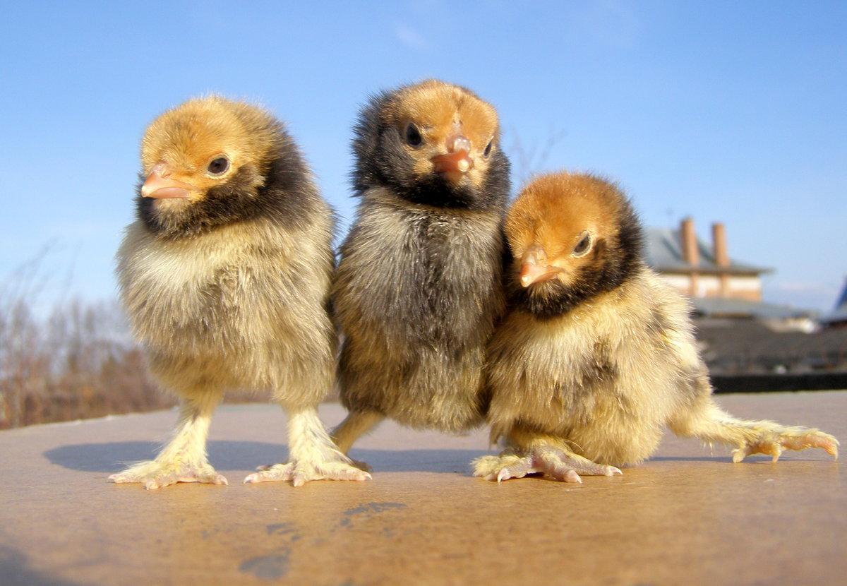 Цыплята смешные картинки