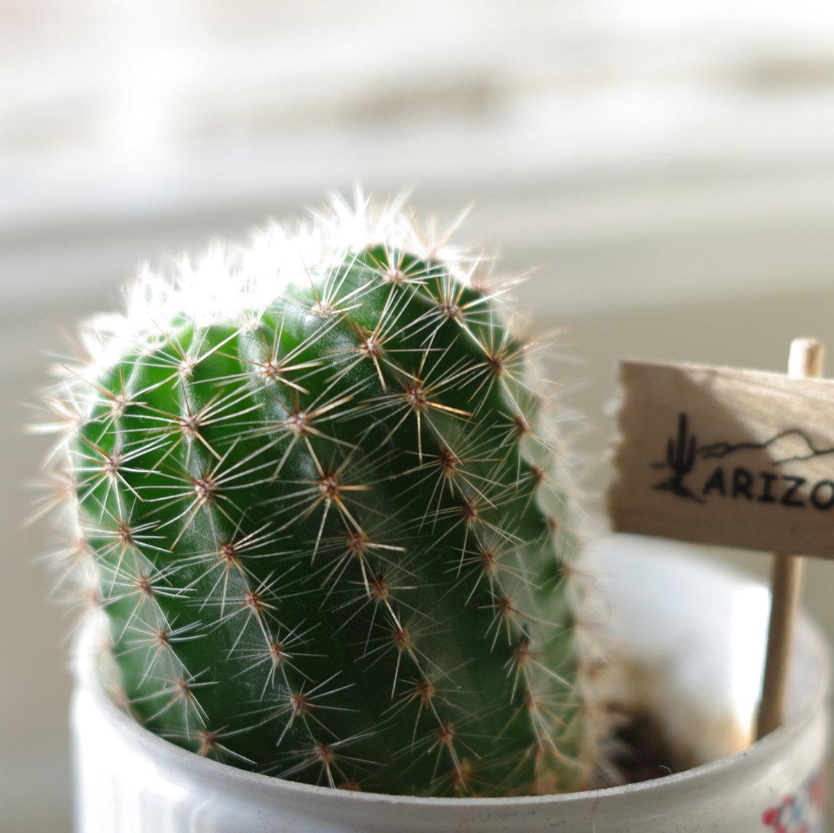 приходится ядовитые кактусы фото особенно привлекательно