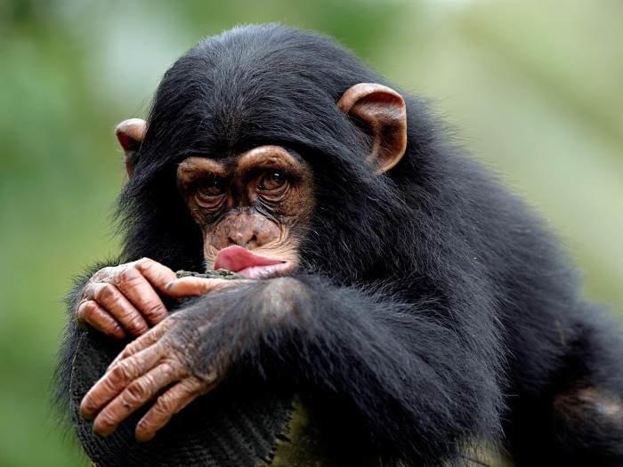 Анимациями для, смешные картинки обезьяна