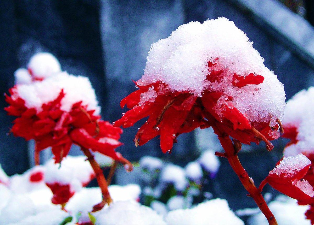 Цветы в снегу картинки