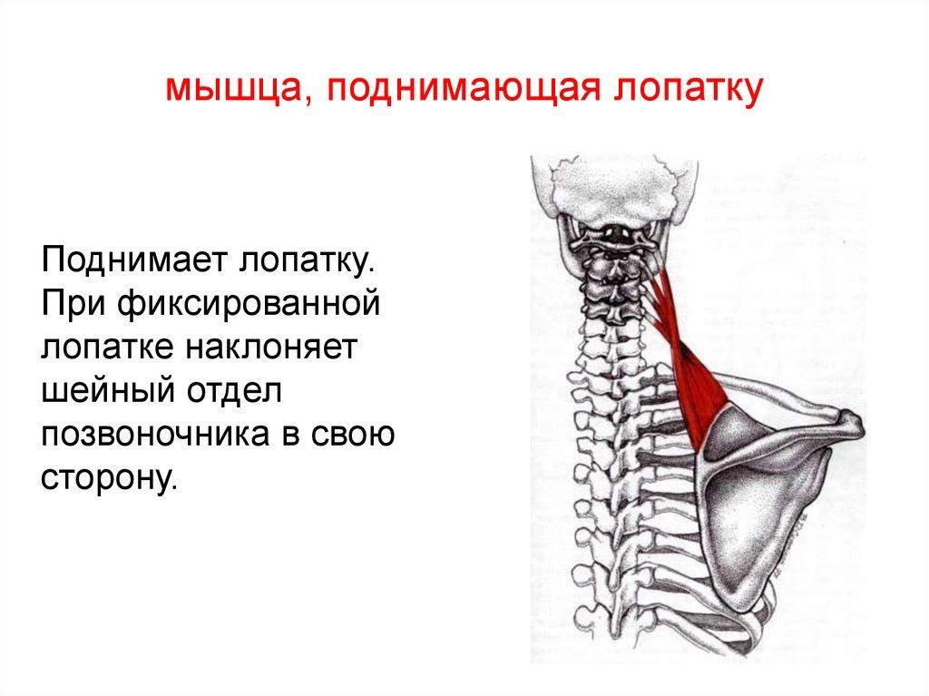 порода мышцы лопатки в картинках хозяева