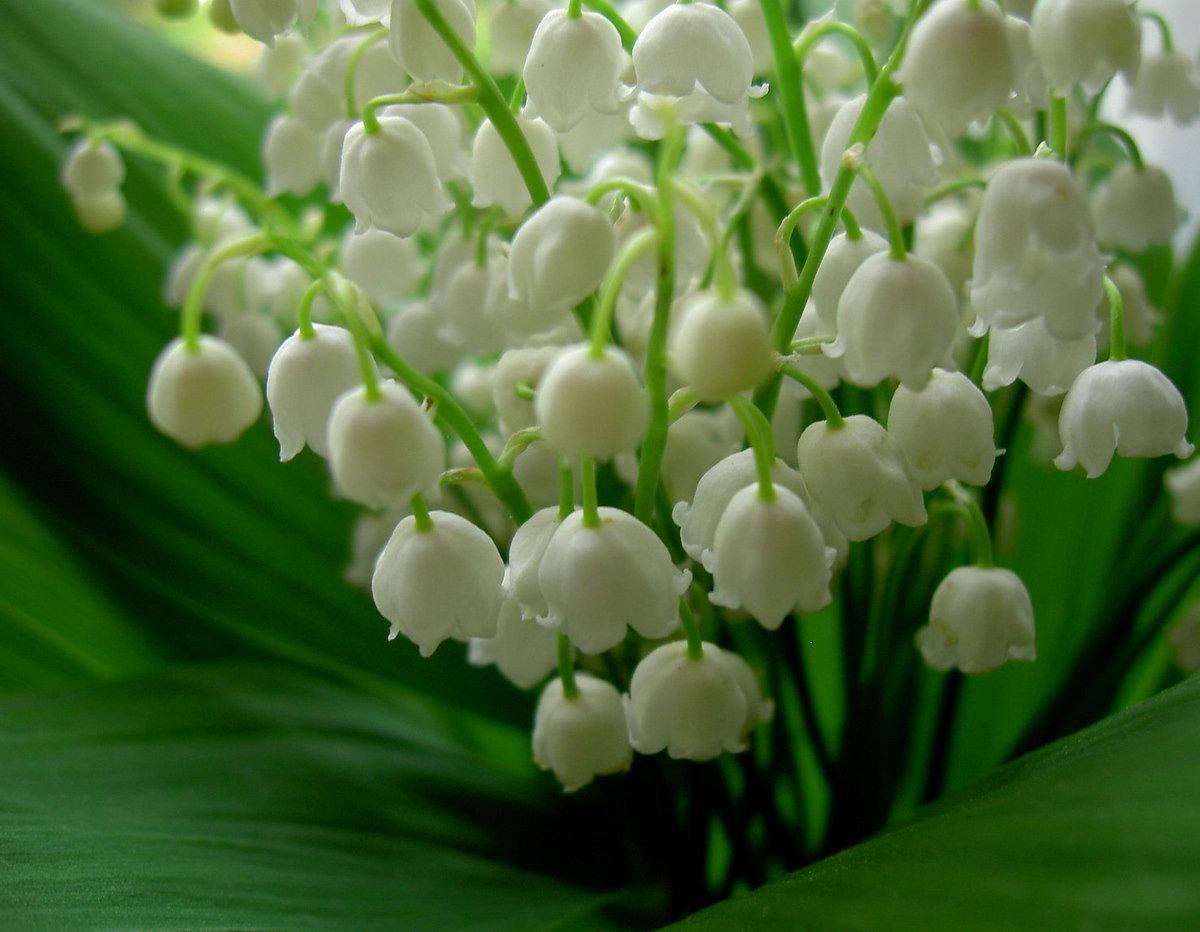 Красивые букеты ландышей на 8 марта, цветов