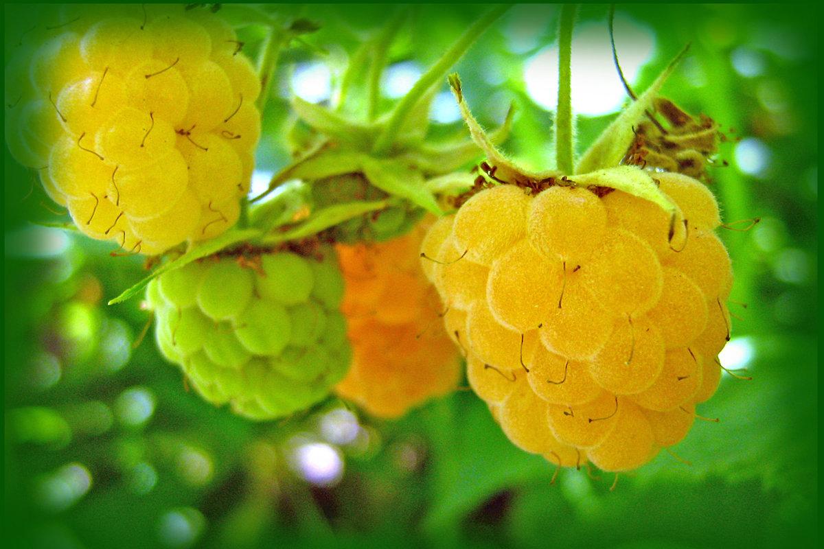 картинка малина желтая ягода них пикантные шкурки