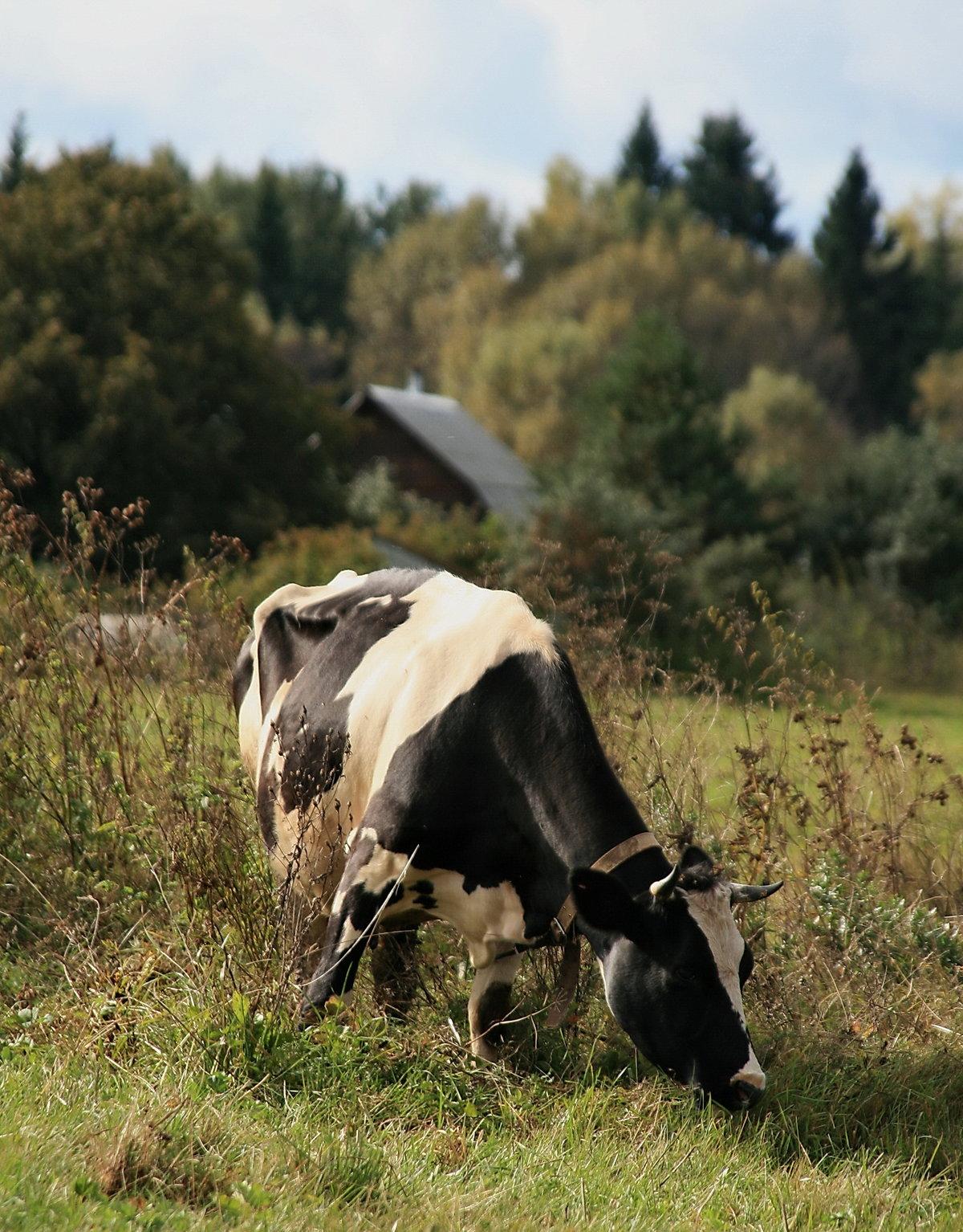 уже картинка деревенские коровы сказали всё