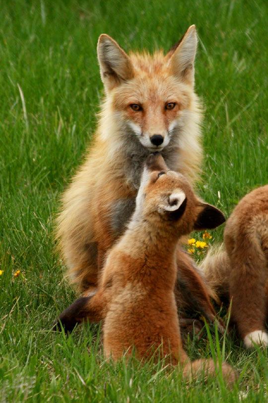 Лисичка с малышом