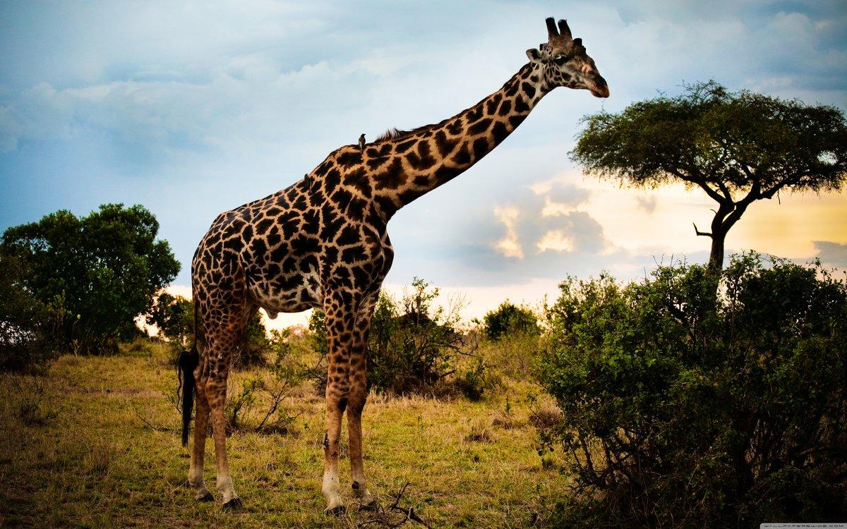 День рождение, жирафы картинки на рабочий стол