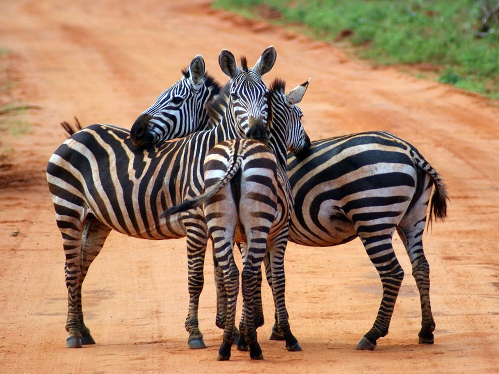 Прикольные картинки про зебр, днем рождения