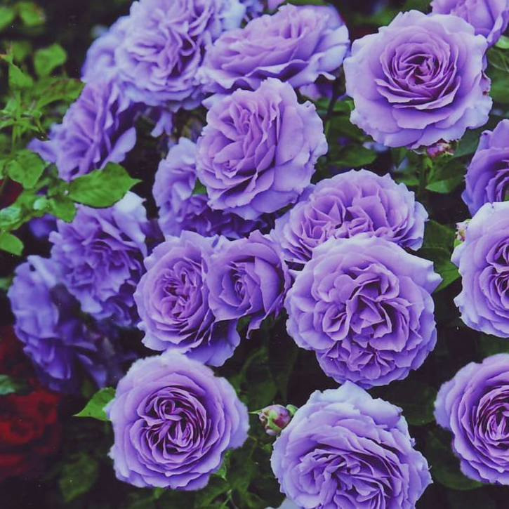 Раком кончают роза плетистая голубая луна