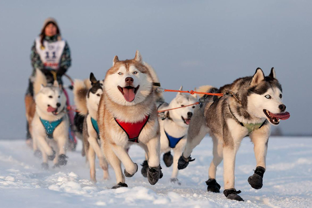 Картинка ездовых собак