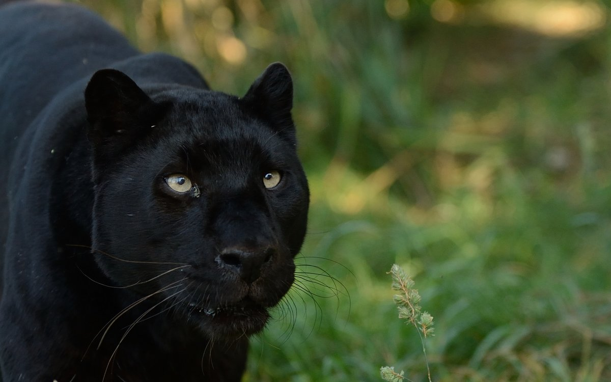 Крутые картинки пантера