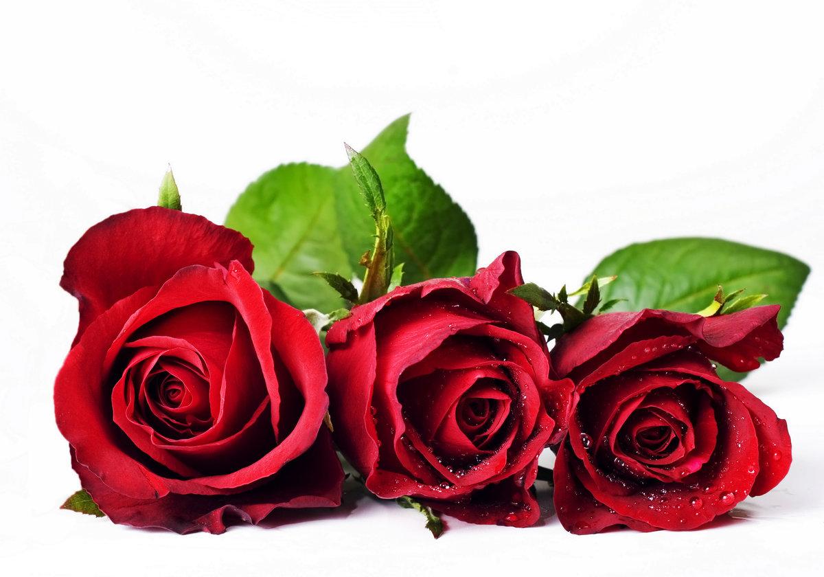 Розы красные открытки