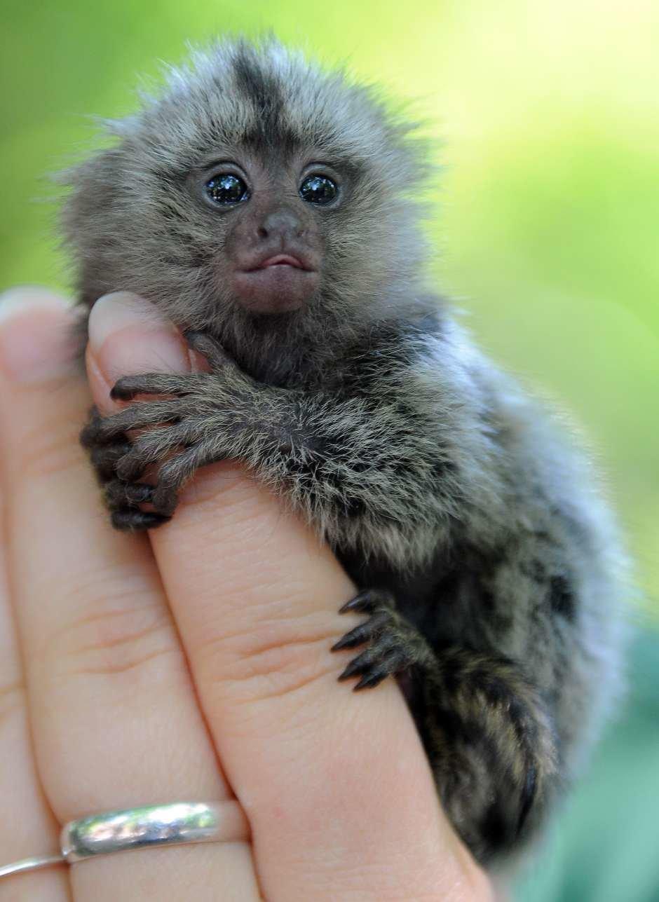 Картинки самой маленькой обезьянки, фото