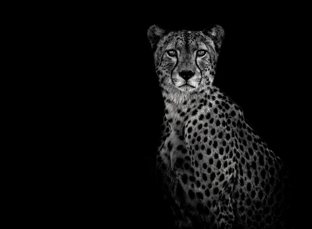 гепард черно белый