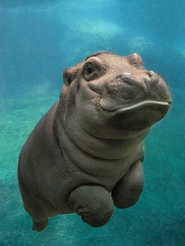 Счастливый бегемотик под водой.