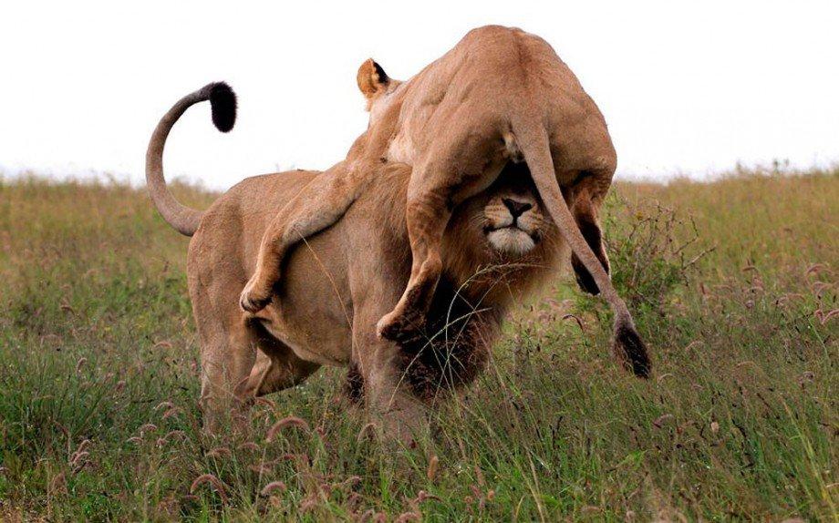 Картинки приколы лев и львица