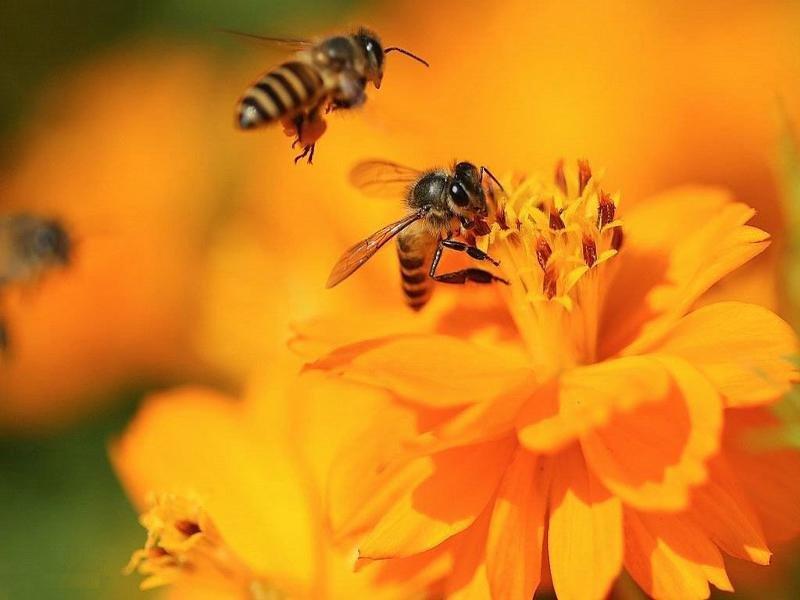 картинки пчела на цветочке сибири