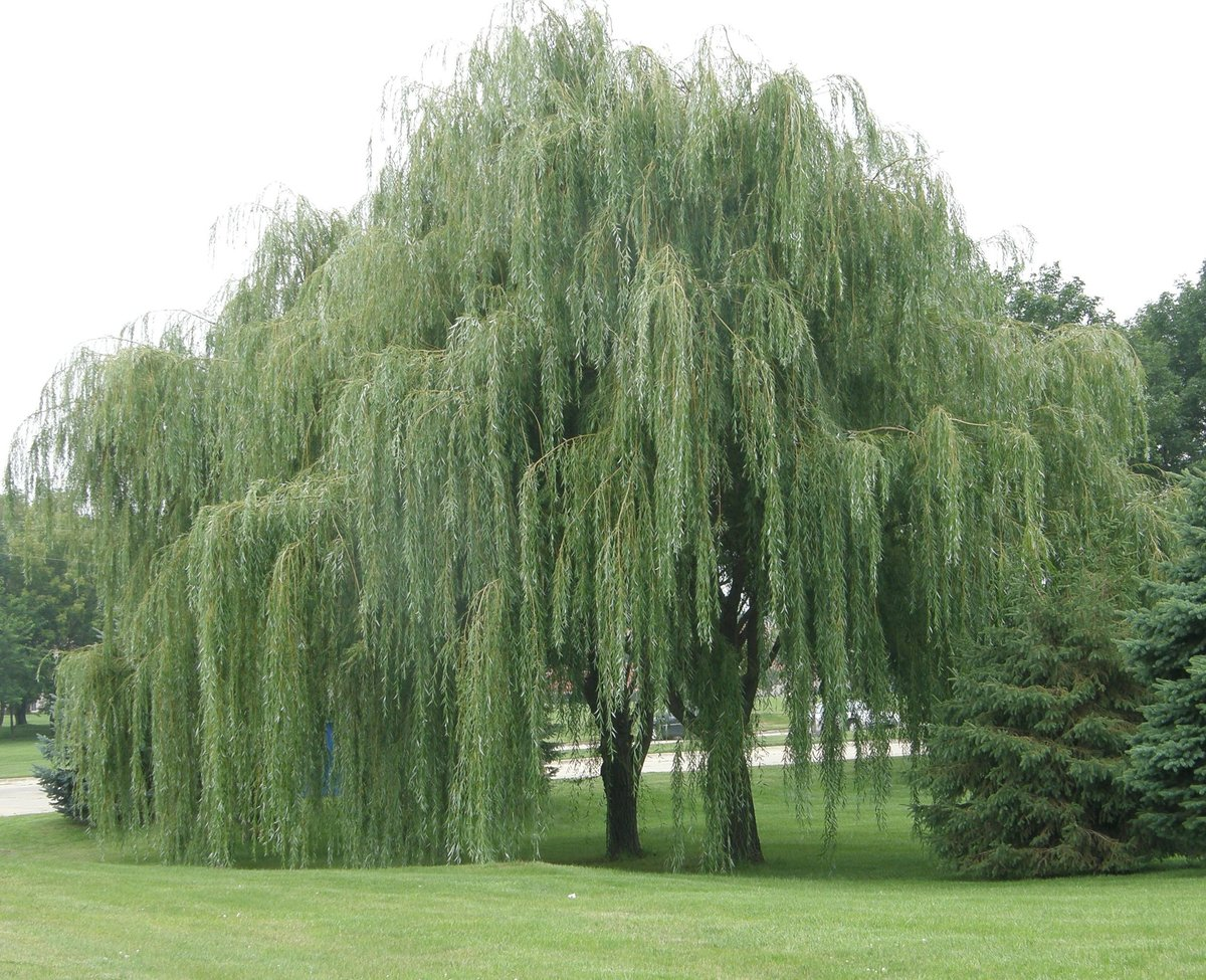 дерево ветла фото онкологии это состояние