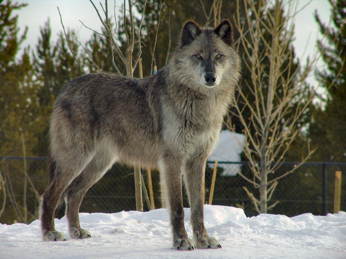 картинка волка во весь рост декорирования