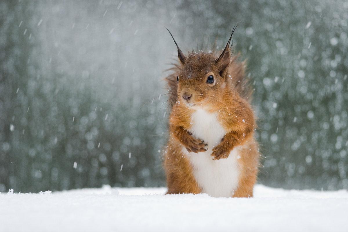 Аниме надписью, картинки бельчонок на снегу