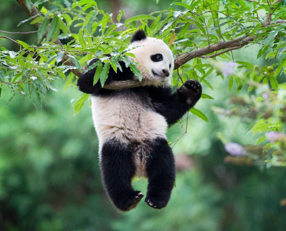 Картинки панды приколы, анимашка мама