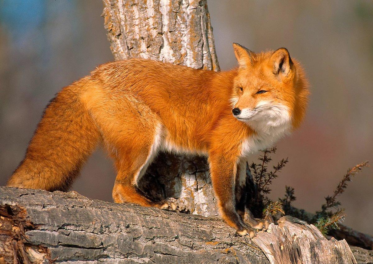 Поймать лису – весть о том, что появится могущественный покровитель.