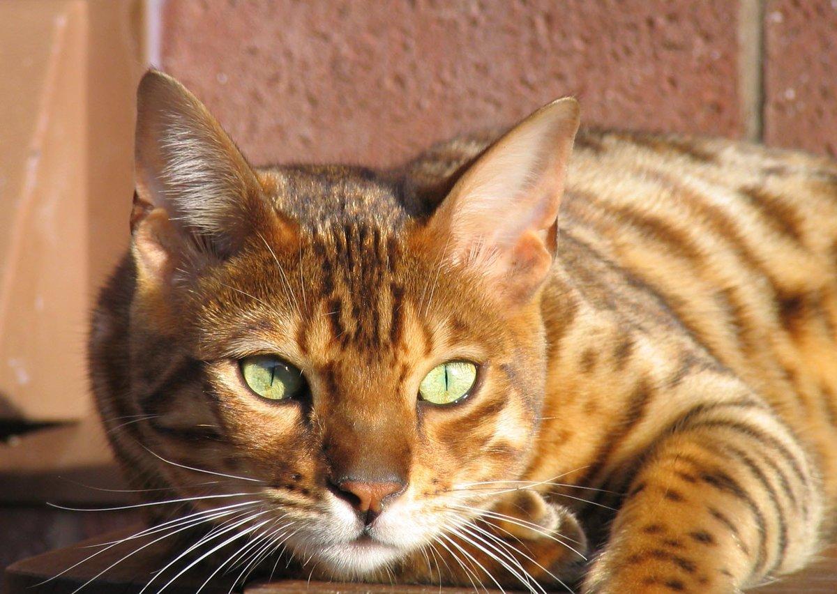 Породистые коты картинки