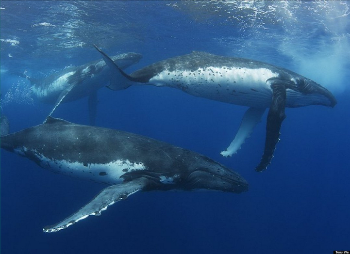 humpback whale facts - 721×524