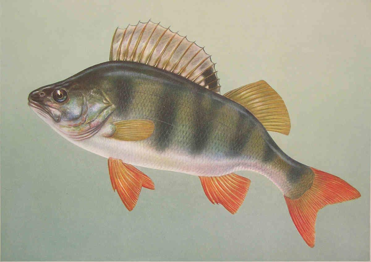 Картинки речной рыбы