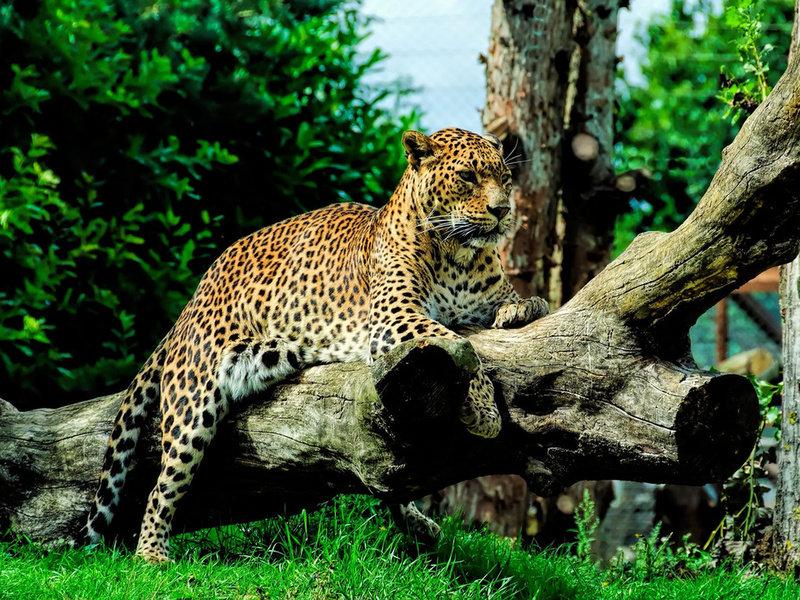 лишь процарапать фотографии ягуара в природе музыке