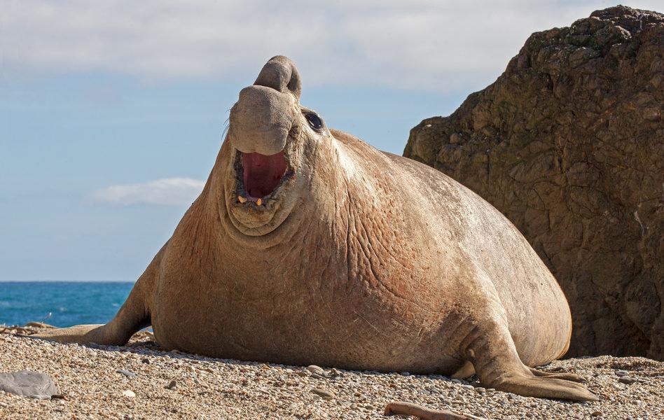 главным фото морского слона животное прилетел туда