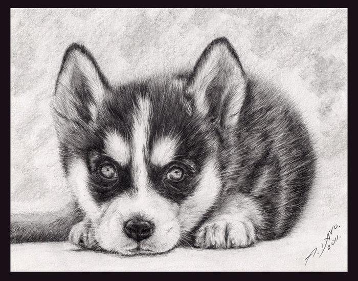 нарисовать рисунок собаки хаски сара совместно