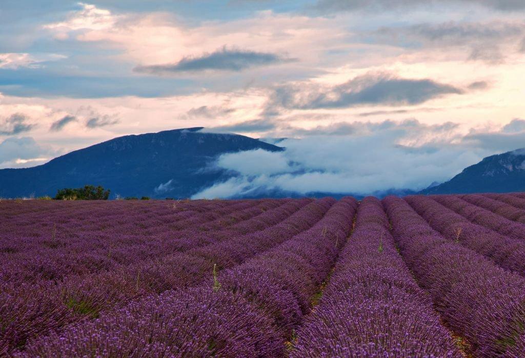 когда цветут лавандовые поля в провансе фото