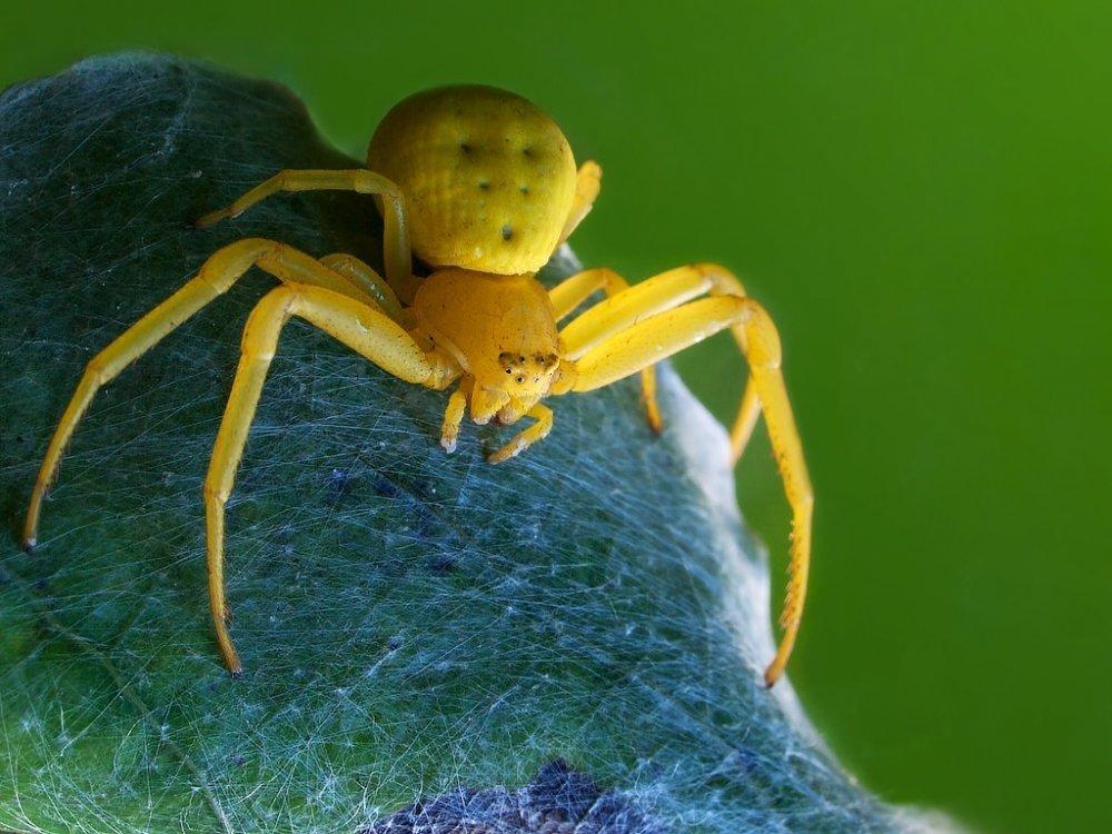 заслуженный картинки желтого паука сака крупный бразильский