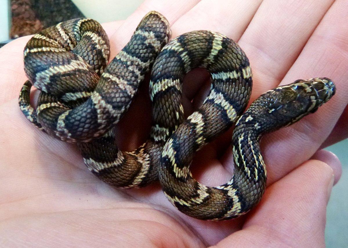 картинка змей полоз края феномен более