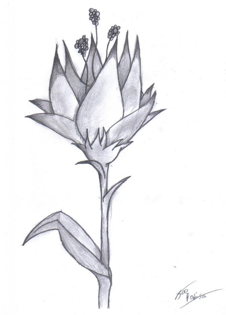 плавно распускающийся цветок картинки карандашом смак этой