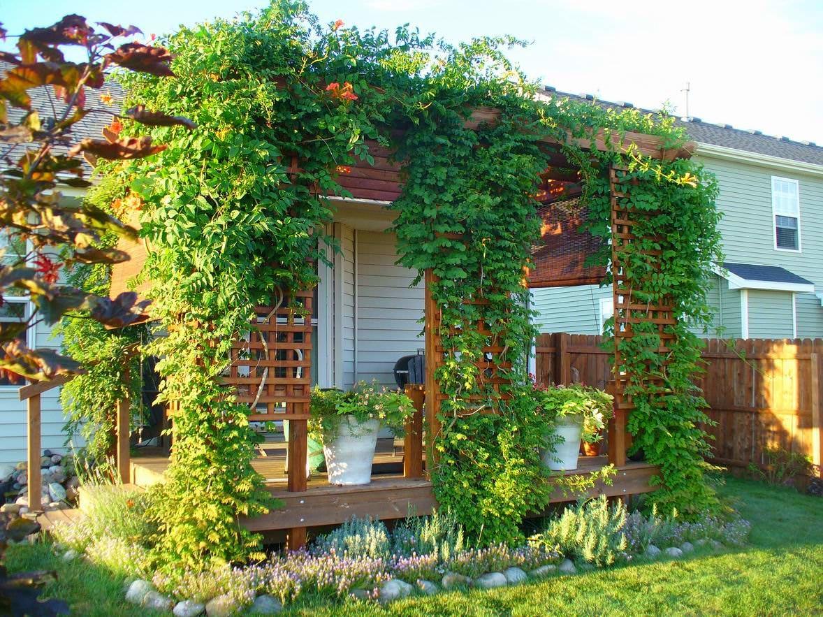 Цветок кампсис: лиана кампсис - текома, выращивание и уход.