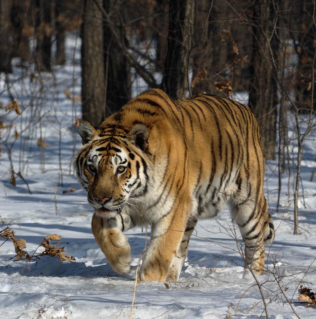 Животный мир дальневосточной тайги картинки