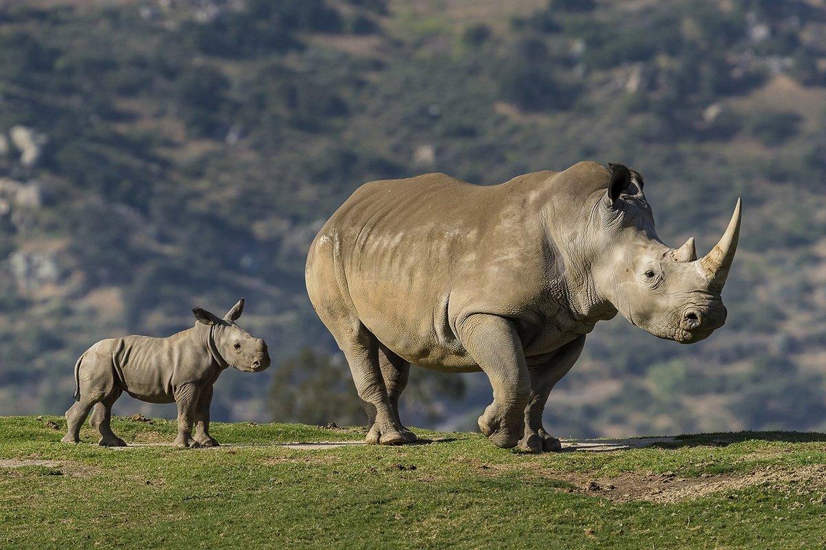 зря, носорог в картинках если заказываете