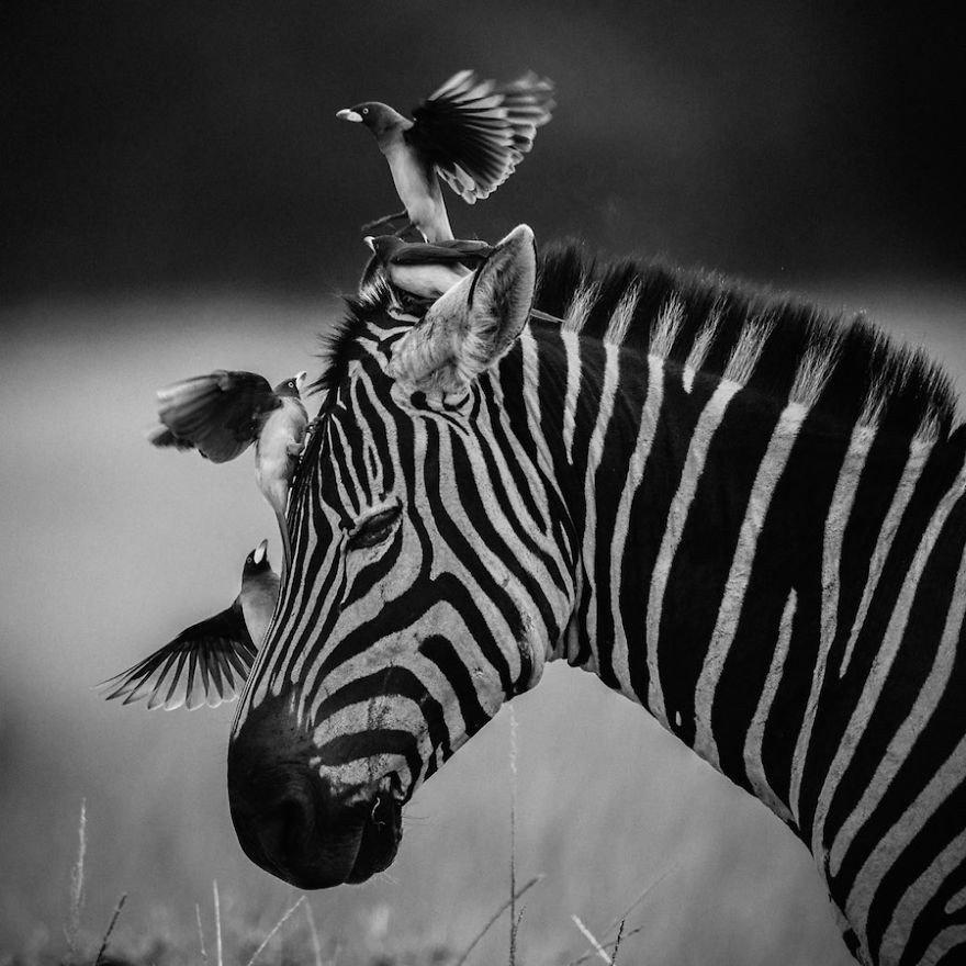 крупное животное африки черно белый