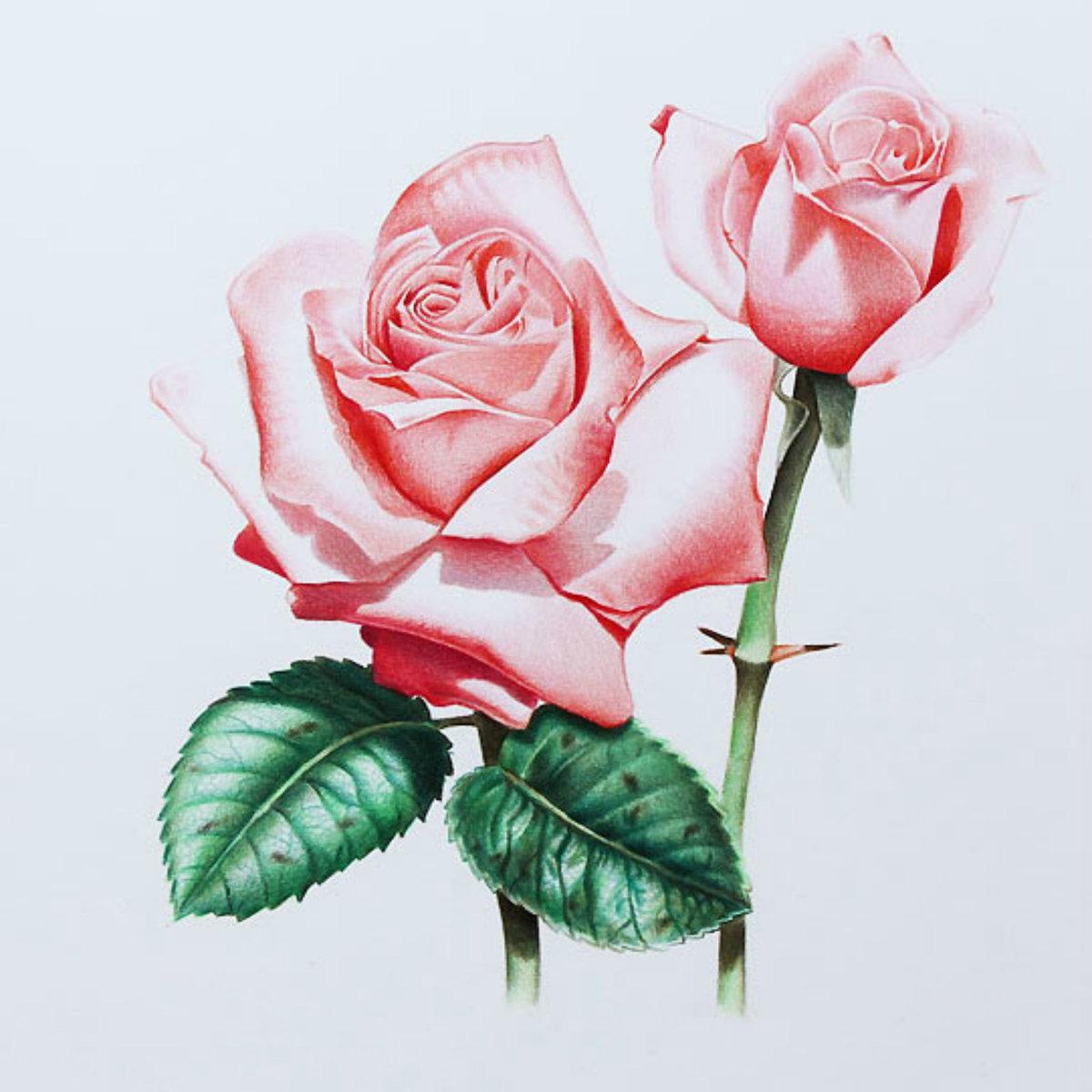 Картинки с розами нарисованные, днем защитника