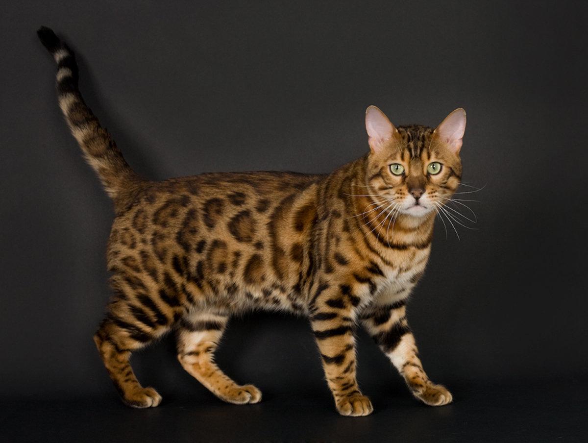 Порода кошек с рисунком на боках