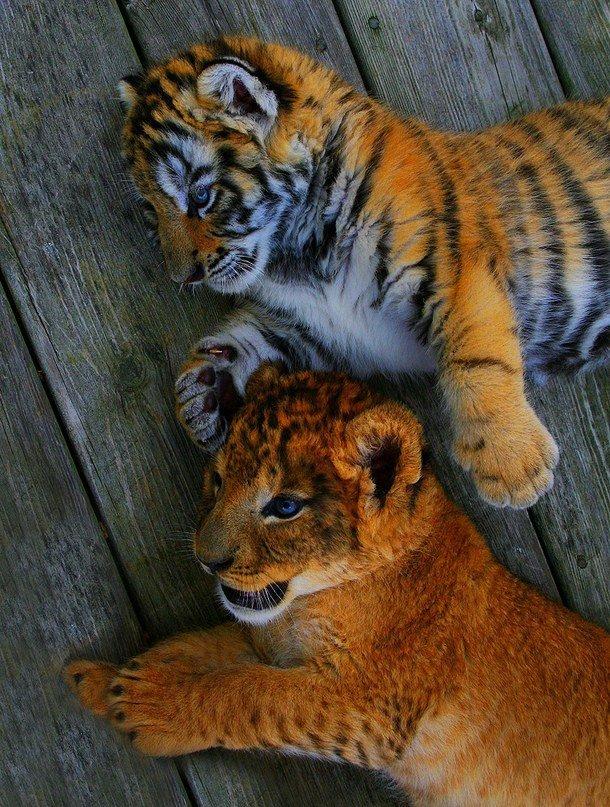 стоимости связаны картинки львят и тигрята магазин ювелирных