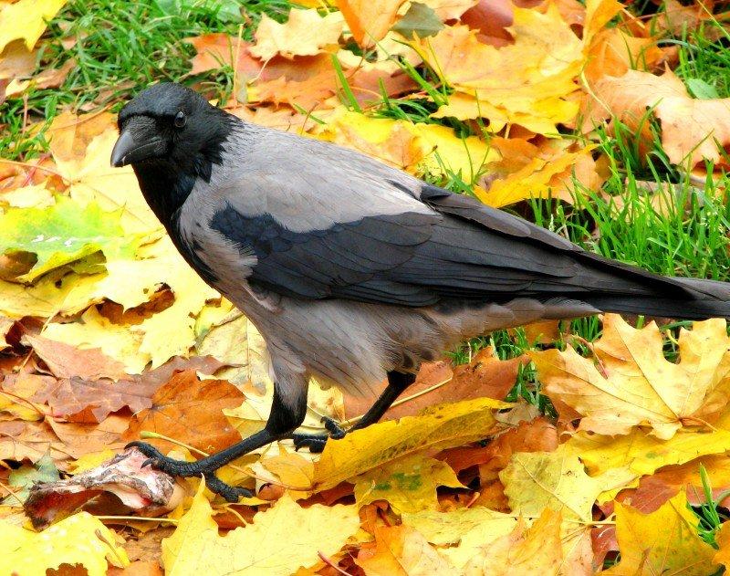 Ворона осенью картинка