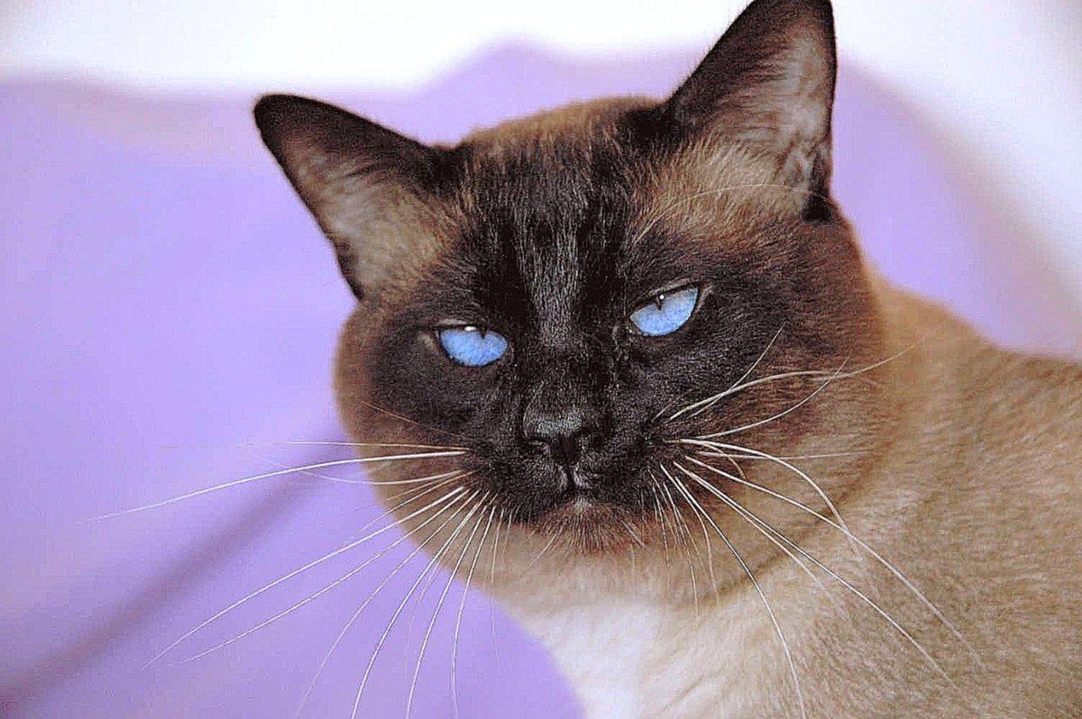 Картинки сиамские кошки, куприянов открытки новым