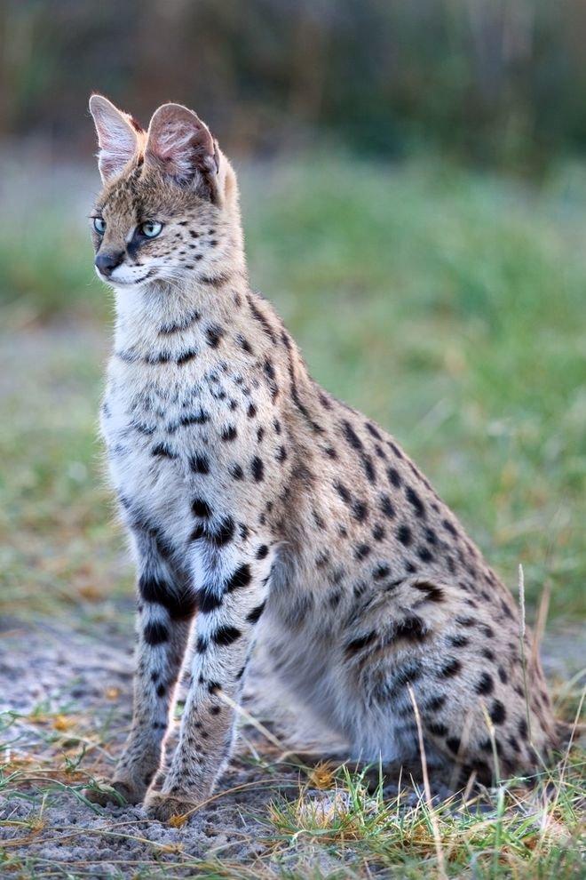 дикие кошки фото и названия в природе нож