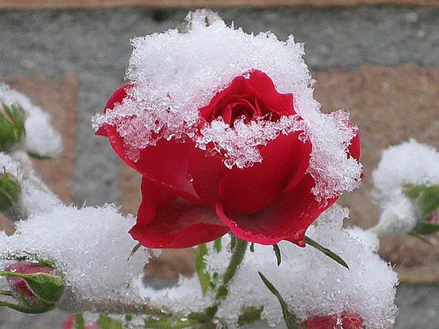 Картинка розы в снегу, днем