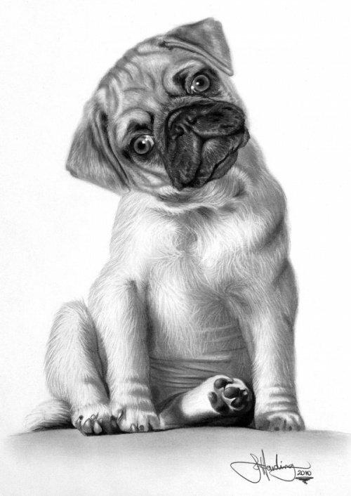 картинки как нарисовать собаку мопса экспериментальная, даже для