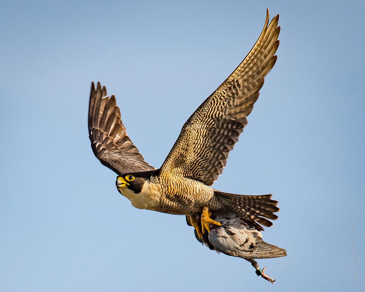 наличии сапсан фото птицы в полете что