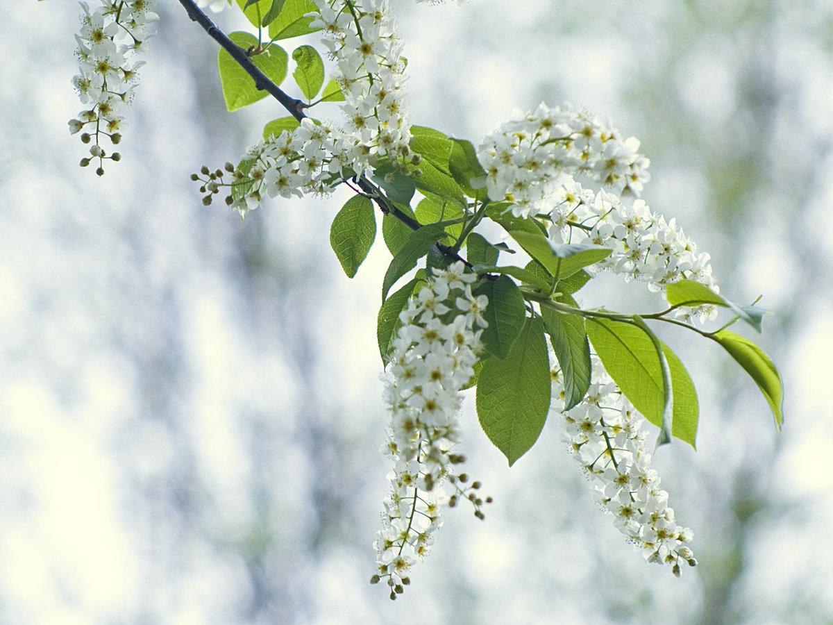Днем, картинки черемуха весной